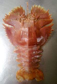 brown slipper lobster