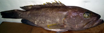 Yellowfin Grouper