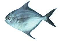 pacific harvestfish