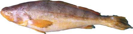 butterfish or small eyed croaker