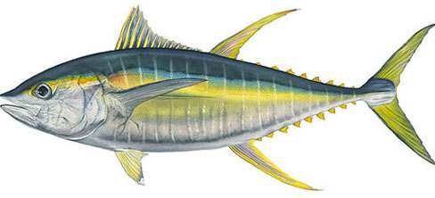 Yellowfin Tuna (Thnunnus albacores)